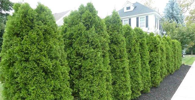 7 idee per creare privacy in giardino e proteggersi da for Costo alberi da giardino