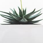Pianta grassa senza fiori dalle foglie triangolari in vaso bianco