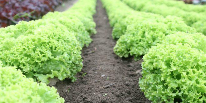 Ecco cosa piantare nell'orto a settembre