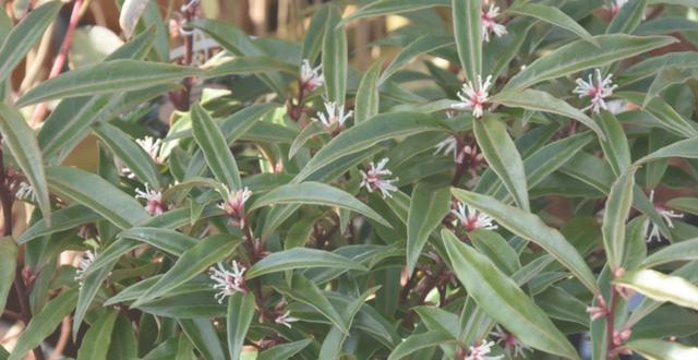 4 bellissime piante da giardino resistenti al freddo e - Piante sempreverdi da giardino resistenti al freddo ...