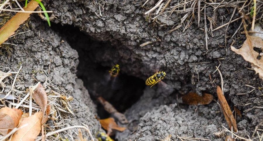 nidi di vespe nel terreno
