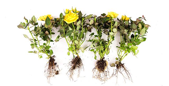 coltivazione-idroponica-vantaggi-radici-accessibili