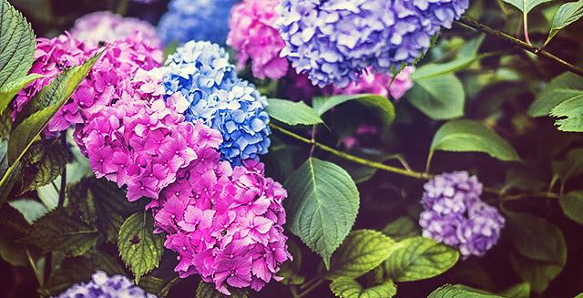 cosa-fare-in-giardino-ad-agosto-dividi-fiori-perenni-ortensia