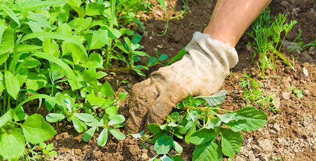 cosa-fare-in-giardino-ad-agosto-rimuovi-erbacce