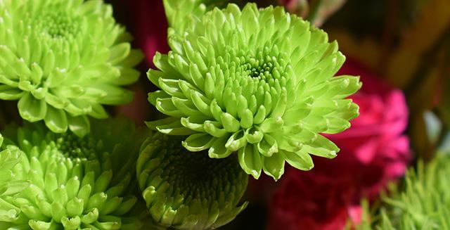 cosa-fare-in-giardino-ad-agosto-colori-aiuola-crisantemi