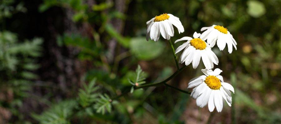 fiori di pireto per elimnare le cimici