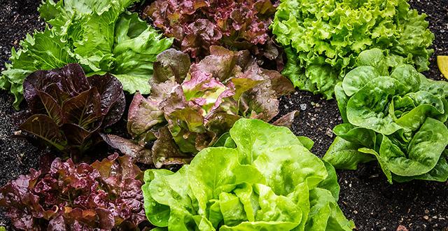 piantare a ottobre insalata
