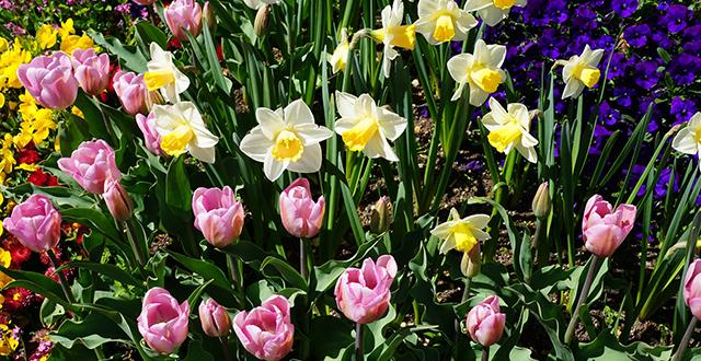 cosa piantare a ottobre narcisi tulipani