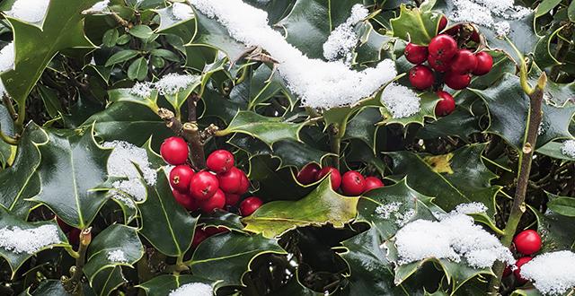 agrifoglio piante sempreverdi resistenti al freddo