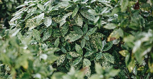 aucuba piante sempreverdi resistenti al freddo