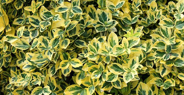 evonimo piante sempreverdi resistenti al freddo