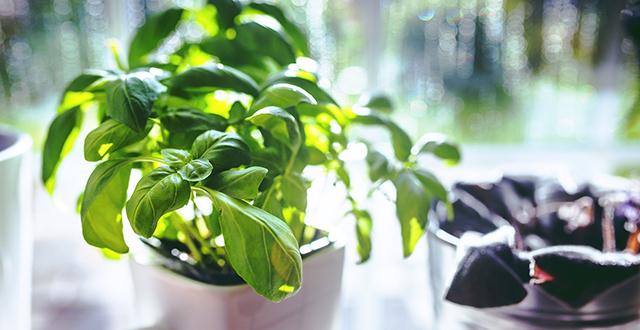 basilico-coltivare-erbe-aromatiche