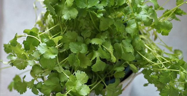 coriandolo-coltivare-erbe-aromatiche