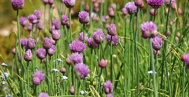 erba-cipollina-coltivare-erbe-aromatiche
