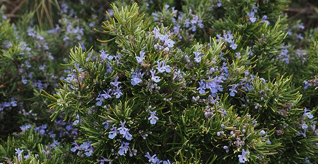 rosmarino-coltivare-erbe-aromatiche
