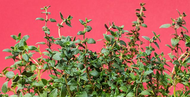 timo-coltivare-erbe-aromatiche