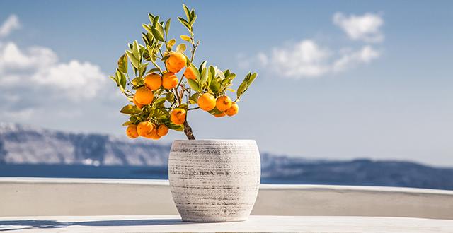 agrumi-albero-da-frutto-in-vaso