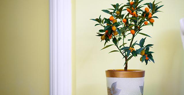 albero-da-frutto-in-vaso