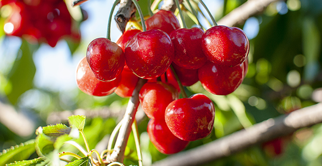 ciliegie-albero-da-frutto-in-vaso