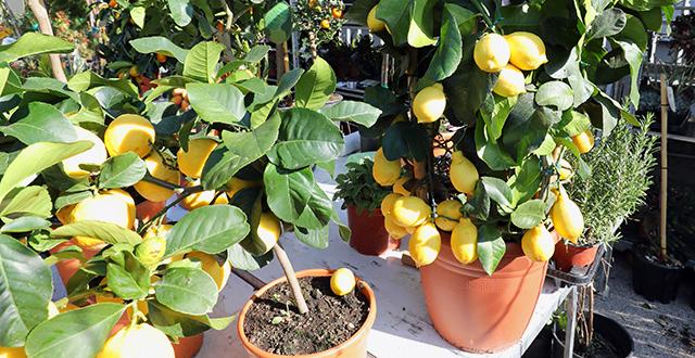 limone-albero-da-frutto-in-vaso