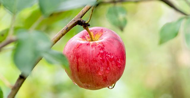 mele-albero-da-frutto-in-vaso