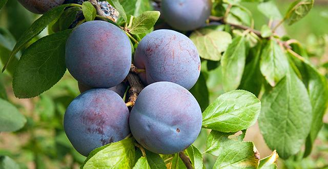 susine-albero-da-frutto-in-vaso