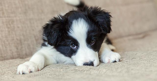 come-pulire-il-divano-in-tessuto-dalla-pipì-di-cane