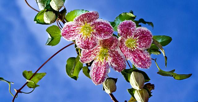 Clematis-Cirrhosa-Freckles-fiori