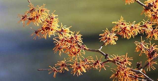 amamelide-fiori-invernali-da-esterno