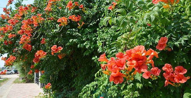 bisgnonia-rampicante