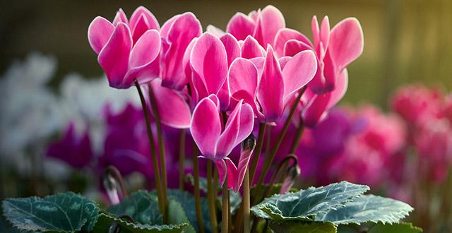 ciclamino fiori resistente al freddo
