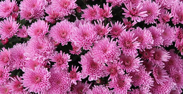 crisantemo-rosa-fiori-invernali-da-esterno