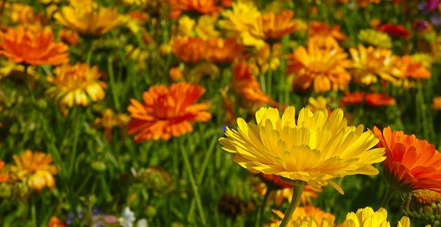 fiorrancio-fiori-invernali-da-esterno