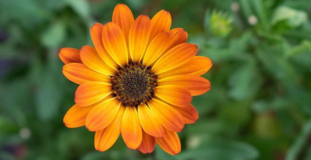 calendula fiore invernale