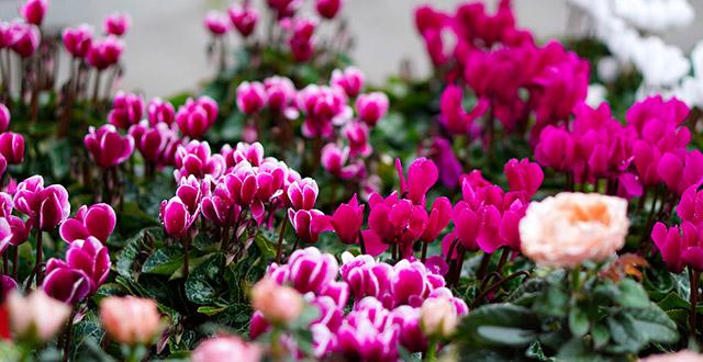 ciclamino fiore invernale