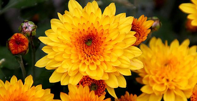 fiori-invernali-da-esterno-crisantemo-giallo-arancio