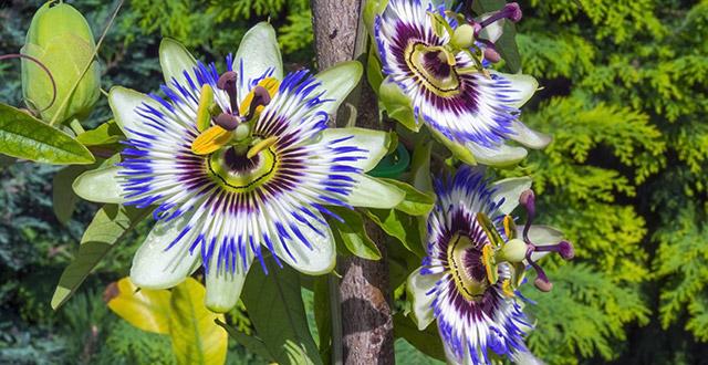 fiori-passiflora-caerulea