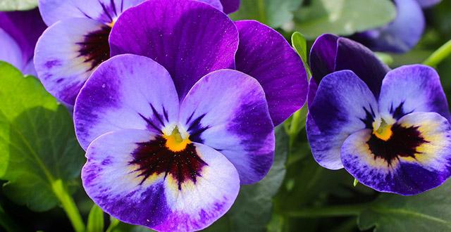 viole-del-pensiero-fiori-invernali-da-esterno
