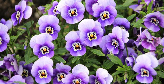 viole-fiori-invernali-da-esterno