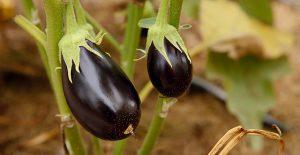 coltivare-la-melanzana