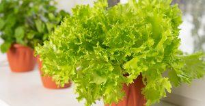 coltivare-lattuga-in-vaso