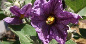 fiori-di-melanzana