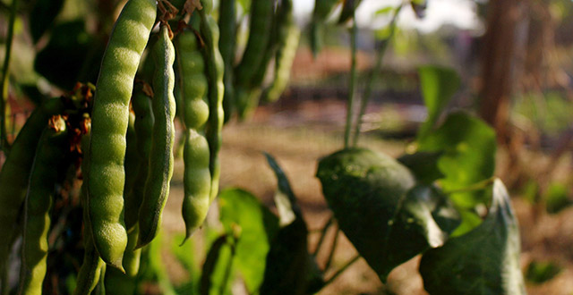 pianta-di-piselli