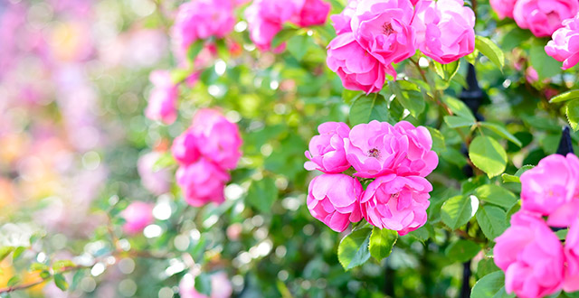 rose-profumate