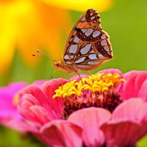 zinnia-farfalle