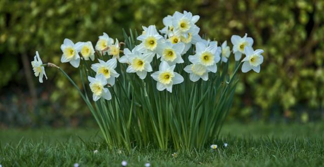 narciso - fiori di settembre